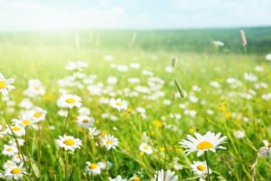 spring_daisy_flowers